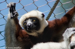This Ciquerel's Sifaka climbed to the top of the enclosure.