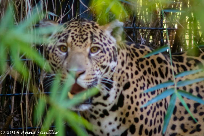 The pacing Jaguar. This guy just kept pacing in the back of his enclosure, not stopping. I was lucky to get this, but I'm not sure it's tack sharp.