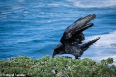 A great picture of a Raven (I think).