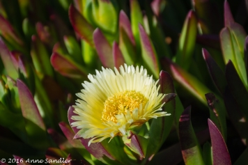An ice plant flower.