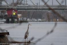 Here a Blue Heron surveys the scene.