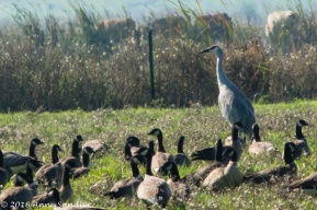 A Sandhill among the geese.