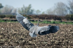 A Blue Heron is taking off.