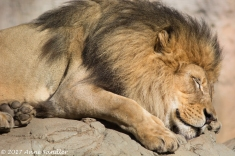 Shh, don't wake the sleeping lion.