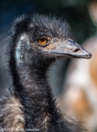 I've never seen an emu either.