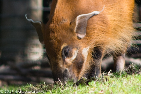 Here's one of the red river hog babies.