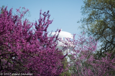 Red buds frame the UC Davis water tower.