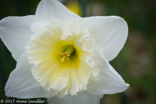 This white daffodil is one of the many varieties.