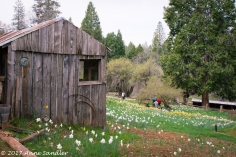 Another structure among the daffodils.