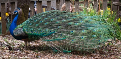They manage pretty well with their large tail feathers.