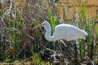 The egret is waiting patiently.