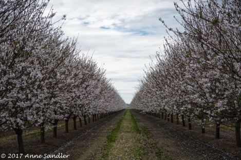 An almond orchard in overcast skies.