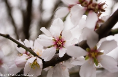 Almond blossoms.
