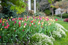One of the tulip beds.