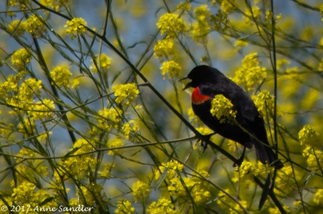 Wildlife: Red Winged Blackbird.