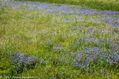 A patch of blue wildflowers.