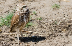 A burrowing owl and his shadow.