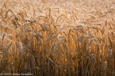 More wheat.