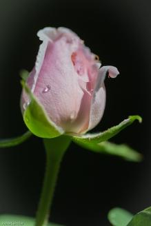 A rose bud.