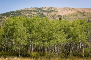 These trees were abundant in both National Parks. They sort of look like Aspens.