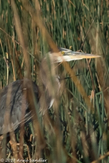A Great Blue Heron hides from us and the wind.