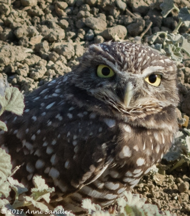One of the burrowing owls. They are so small and cute.