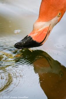 Flamingo reflection.
