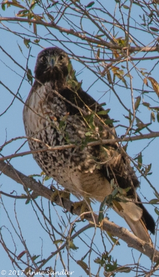 This might be a northern harrier.