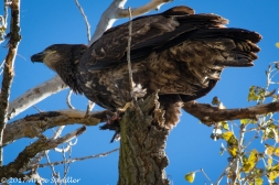The juvenile Bald Eagle