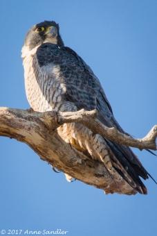 A Harrier Hawk.