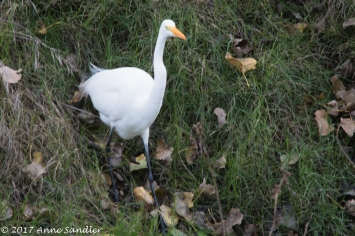 And of course the Great Egret.