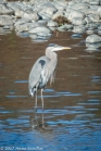 A blue heron is fishing along the American River.