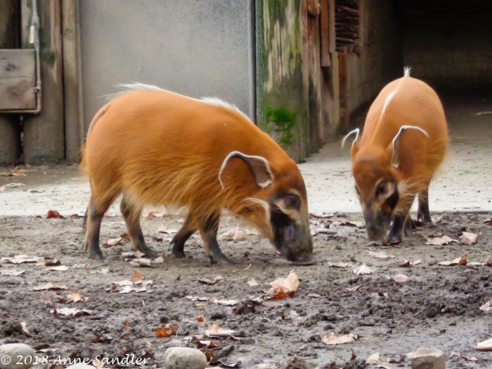 The young red river hogs are growing up too.