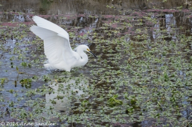 SWR, egret ready to fly