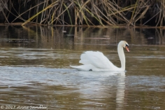 Swan swimming by.
