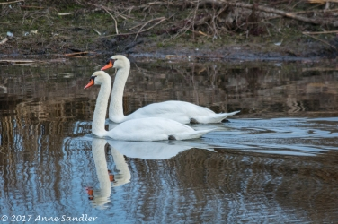 Two swans a swimming.