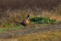 A pheasant.