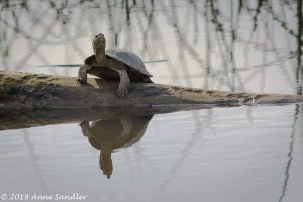 Now at SWR, a turtle looking for sun to bathe in.
