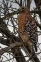 Red Shouldered Hawk 9?)