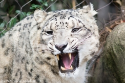 The male Snow Leopard was out.