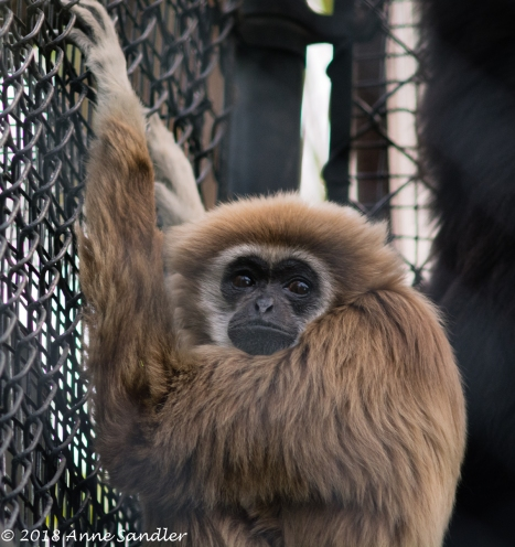 A white-handed Gibbon.