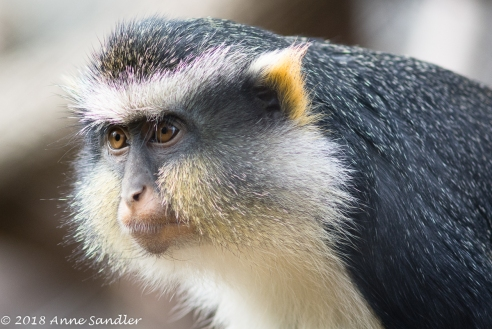 A Wolf's Guenon