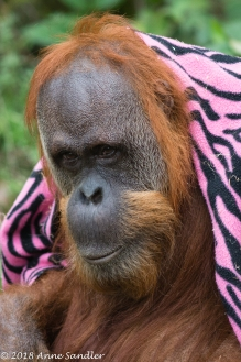 The Orangutans enjoy playing with blankets.