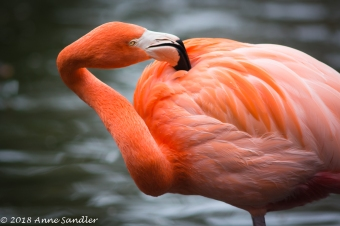 An adult Flamingo.