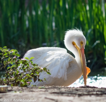 One of my favorites, a Pelican.