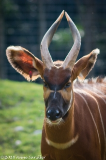 The Eastern Bongo was coming towards us.