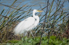 This Great Egret was making its way through the reeds.