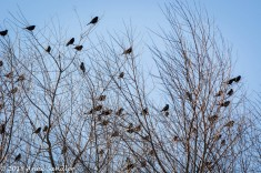 Four and twenty black birds!