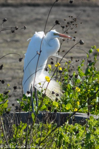 Look at the feathers on this egret.