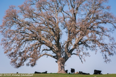 In the summer, this tree provides shade for the cows.